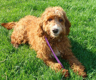 Irish Doodle Goldendoodle Puppies For Sale Eagle Valley