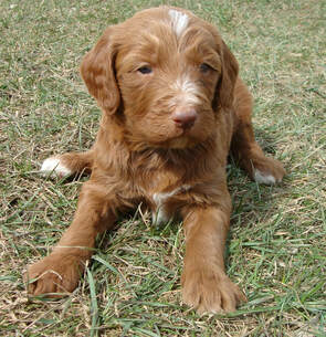 Irish Doodle & Goldendoodle Puppies For Sale Eagle Valley