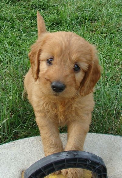 Irish Doodle Goldendoodle Puppies For Sale Eagle Valley Puppies